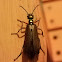 Bronzed Blister Beetle