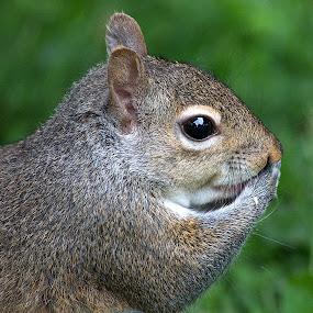 Let Us Pray by Anita Frazer - Animals Other Mammals ( brown, squirrel, mammal, animal,  )