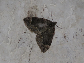 Photo: 3 Jul 13 Priorslee Avenue tunnel: Another variant of Common Marbled Carpet: this also on the roof of the Priorslee Avenue pedestrian tunnel. (Ed Wilson)