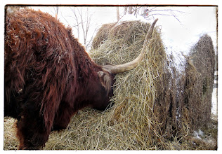 Photo: Classic shot of Jake nosing into hay bale...