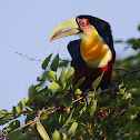 Tucano-de-bico-verde (Green billed Toucan)