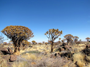 Photo: Quivertrees in Kokerboom Forest