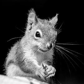Red Squirrel by Debbie Quick - Black & White Animals ( debbie quick, nature, adirondacks, debs creative images, new york, squirrel, outdoors, mammal, ticonderoga, red squirrel, rodent, animal, black and white, wild, wildlife )