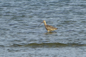 Photo: Long-billed curlew.