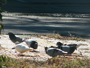 Photo: some home pigeons lingering in QRRS Dorms' garden. a beautiful scene for the city mainly concrete and cement.