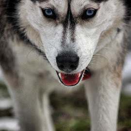 plavooki by Dunja Kolar - Animals - Dogs Portraits ( maksimir, pas, croatia, zagreb )