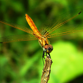 Dragonfly by Souvik Nandi - Novices Only Wildlife ( nature, wings, yellow, dragonfly, insect,  )