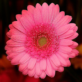 Pink gerbora by Gérard CHATENET - Flowers Single Flower