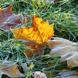 The yellow leave on a flosty grass by Svetlana Saenkova - Nature Up Close Leaves & Grasses ( grass, backlight, autumn leaves, autumn, frosty, backlit,  )