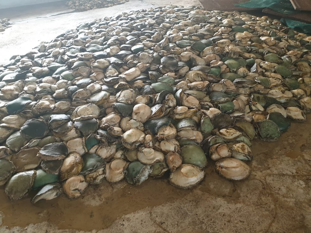 Processed abalone worth R4m found at Krugersdorp farm - SowetanLIVE