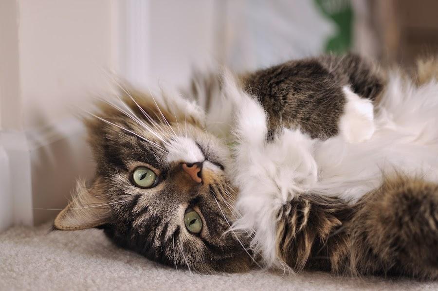 Just to Say Hi~ by Ryan Li - Animals - Cats Portraits ( look, kitten, cat, play, funny, lovely, interesting, sleep, portrait, animal )