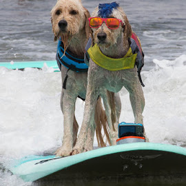two surfers by Janet Marsh - Animals - Dogs Playing ( 2 dogs, dog surfing,  )