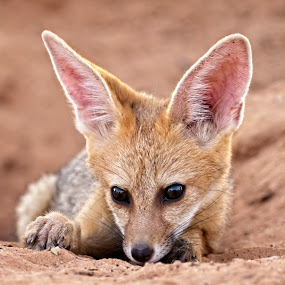 Cape Fox Pup at Den by Anne-Marie  Fuller  - Animals Other Mammals ( wildlife up close, nature, nature up close, nature photography, wildlife, cape fox pup,  )