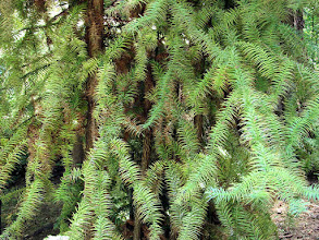 Photo: Lakewold conifer, species unknown to me