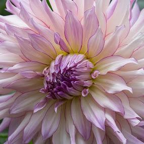 Dinner Plate  by Janet Marsh - Flowers Single Flower ( dalhia, purple and white,  )