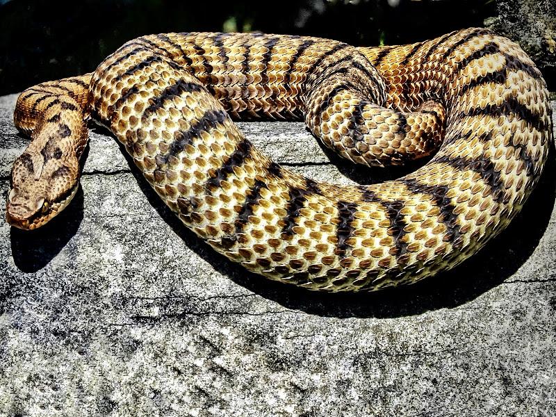 Serpente  🐍  di Capirizzo