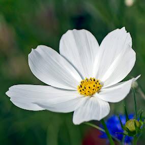 Cosmos by Michael Velardo - Flowers Single Flower ( nature, outdoors, cosmos, cosmos flower, cosmos bipinnatus white, white cosmos flower,  )