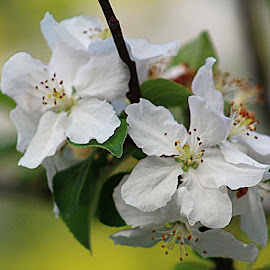 by Karen McKenzie McAdoo - Flowers Tree Blossoms
