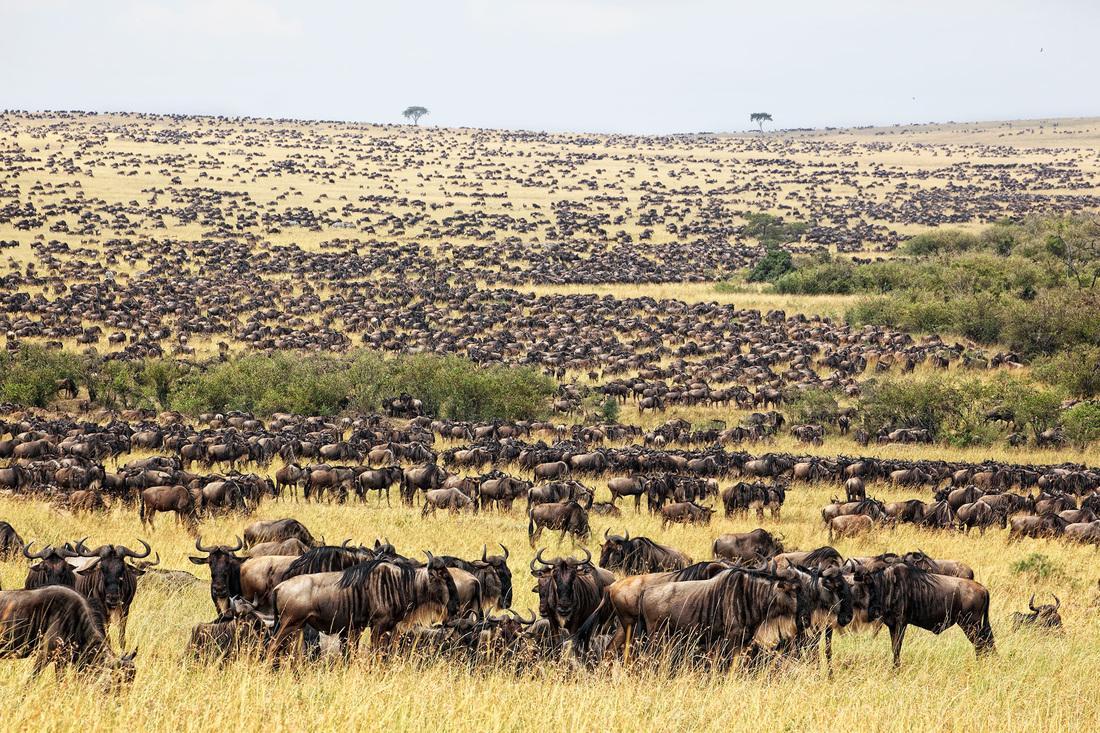 Resultado de imagen de migracion en masai mara