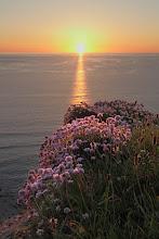 Photo: Thrift at sunset, near Porthtowan in Cornwall.