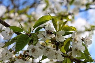 Photo: Non solo gemme, anche fiori a Le Velette. E dentro i fiori...le api!