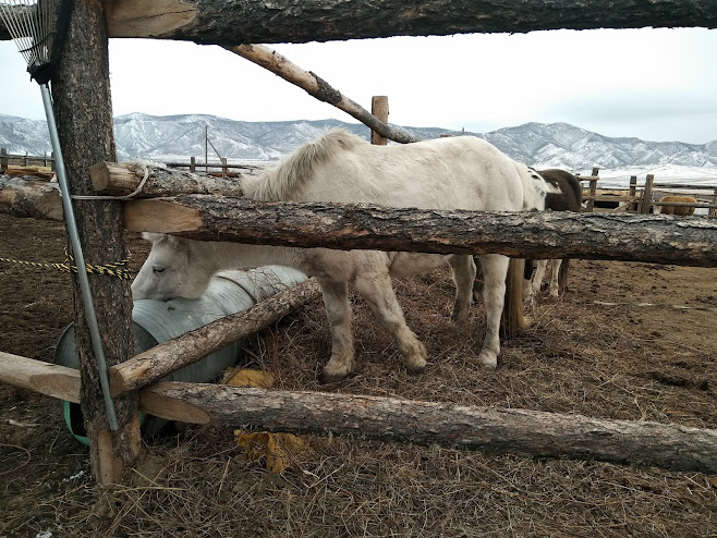 水を飲む馬