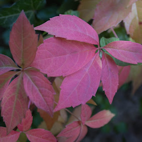 Pink leaves by Nena Volf - Nature Up Close Leaves & Grasses ( autumn, pink, leaves,  )