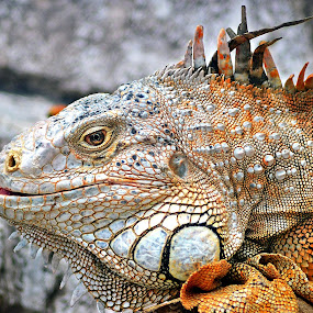 a monster? by Dhannie Setiawan - Animals Reptiles ( wild, reptiles, orange, monster, iguana,  )