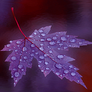 Purple Leaf Live Wallpaper apk