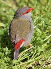 Photo: Red-browed Finch