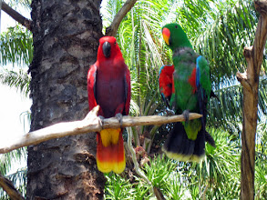 Photo: Краснокрылый попугай (лат. Aprosmictus erythropte