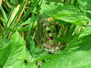 Photo: Niepylak apollo (Parnassius apollo)