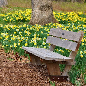A peaceful spot to sit and admire the flowers.  by Viana Santoni-Oliver - Landscapes Prairies, Meadows & Fields ( illinois, seasonal, bench, grass, lake, forest, recreation, woods, spring, nature, tree, outdoor, lisle, morton arboretum, trees, daffodils, arboretum, rest, flowers, outside )