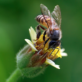 Honey & Bee by Yunita Halim - Animals Insects & Spiders ( animals, bee, flower )