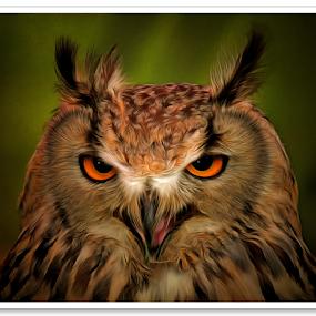 Eagle-Eyed Owl by Nigel Finn - Animals Birds ( screech, bird, eagle, owl, raptor, prey, feathers, eyes )