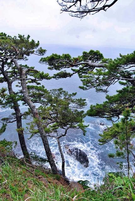 歌津崎の松 写真2