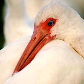 White Ibis by Jeri Curley - Animals Birds ( bird, wading bird, ibis, white ibis, blue eyes,  )