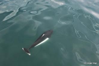 Photo: Weißflankenschweinswal