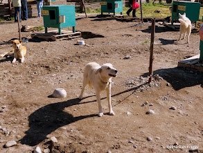 Photo: The sled dogs of Caribou Crossing.