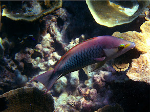 Photo: solitary wrasse