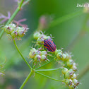 Red and Black Striped Stink Bug