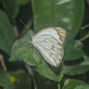 Great Southern White / Borboleta-Brancão / Curuquerê-da-Couve