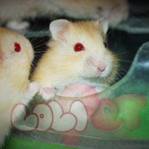 chuột-hamster-vàng-chanh-42-300x300.jpg