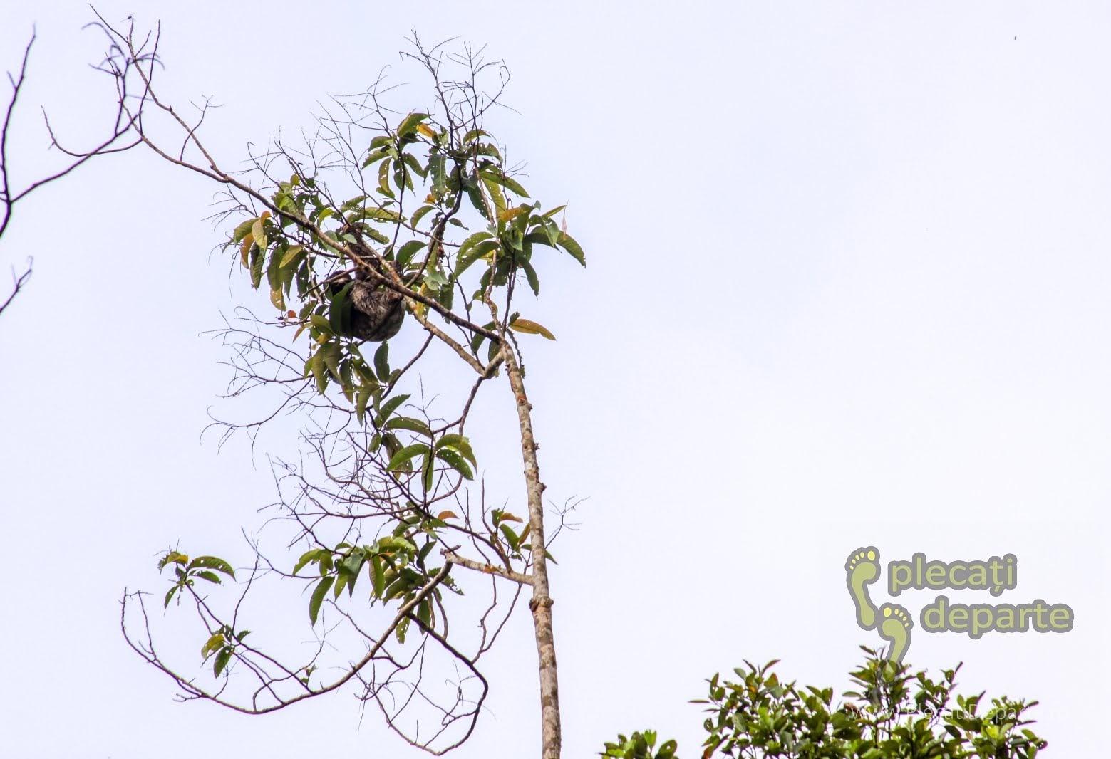 Lenesul, animal din jungla amazoniana, in Rezervatia Nationala Pacaya-Samiria, Peru