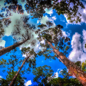 Treelines by Nemanja Stanisic - Nature Up Close Trees & Bushes ( pines, away, trees, upward, up,  )