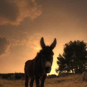 Donkey by Jaksa Kuzmicic - City,  Street & Park  Vistas