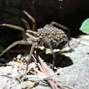 Rabid Wolf Spider (with spiderlings)