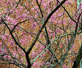 Photo: Cercis canadensis -- redbud.