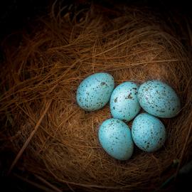Treasure.... by Chandra Mouli Roy Chowdhury - Nature Up Close Hives & Nests ( bird, eggs, blue, nest, crow )