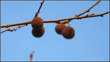 Photo: Arbore de gumă (Liquidambar orientalis) - de pe Str. Aviatorilor - 2017.01.01